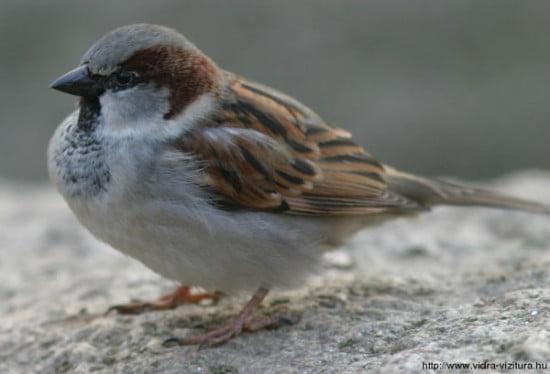 hazi_vereb_passer_domesticus_www-vogelstimmen-wehr-de