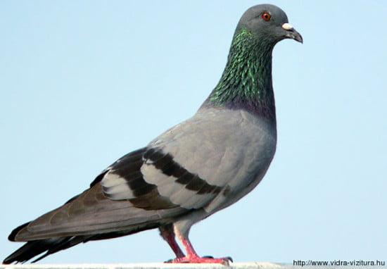 szirti_galamb_columba_livia_www-birding-in