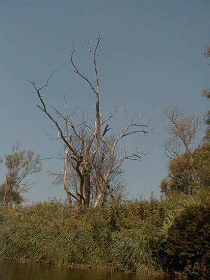 Ha a bal parton ezt a szaraz fát látod, akkor figyeljetek, mert kb. 200 m múlva odaérsz a szigethez.