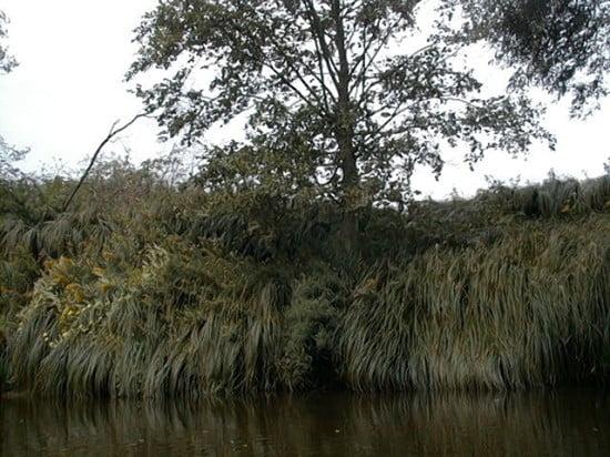 A forrás alatt 10 m-rel érdemes figyelni a bal partot. Máshol is van a Rábán ilyen növény, de nem ekkora mennyiségben.