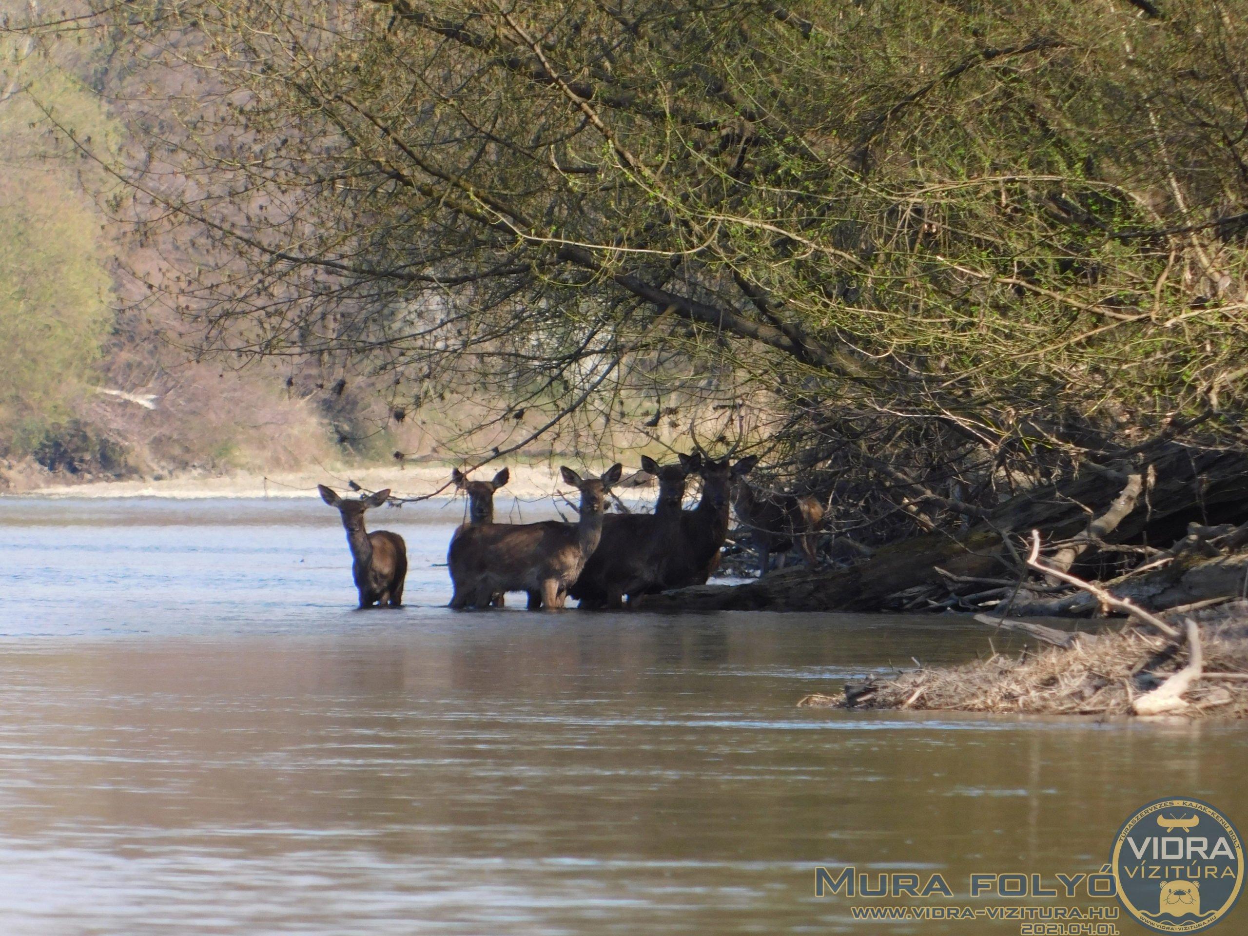 Lilevilág, tavaszkezdet a Mura folyón